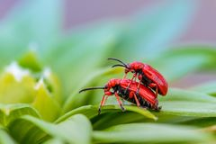 Two red bloody nosed beetle. Are breeding on lily leaves Royalty Free Stock Photo