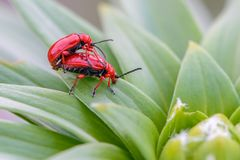 Two red bloody nosed beetle. Are breeding on lily leaves Stock Photos