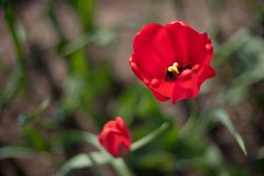 Two red blooming tulips royalty free stock photo