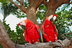 Two red blue color parrots sitting on a branch of a tree Stock Images