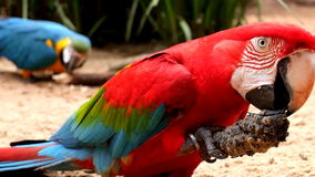 Two red and blue parrots eating in wilderness stock video