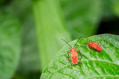 Two red bugs Royalty Free Stock Images