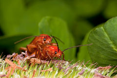 Two red bugs having fun Stock Images