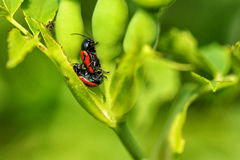 Two red bugs mating Stock Photos