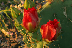 Two red cactus flowers. Closeup of 2 red cactus flowers royalty free stock photo