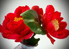 Two Red Camellias stock photography