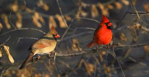 Two red cardinal in forest Royalty Free Stock Photo