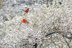 Two red Cardinals on a snowy bush. Royalty Free Stock Images