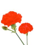 Two red carnations Stock Image