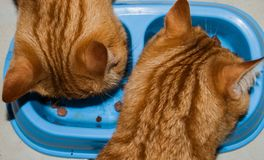 Two red cats while they eat stock images