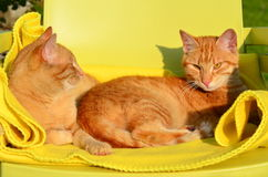 Two red cats in the eveving sun. Two red cats on a yellow blanket in the eveving sun stock image