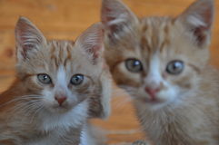 Two red cats with the surprised eyes Royalty Free Stock Images