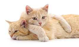 Two red cats. Two red cats on a white background Royalty Free Stock Image