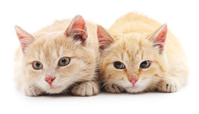 Two red cats. Two red cats on a white background Stock Images