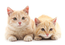 Two red cats. Two red cats on a white background Stock Photography