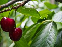 TWO RED CHERRIES CLOSE-UP Royalty Free Stock Images