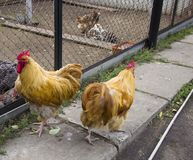 Two red chicken. Two red hens walk on the street Royalty Free Stock Photography