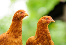 Two Red Chickens Royalty Free Stock Photography