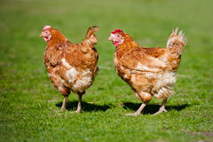 Two red chickens walking on grass Stock Photography