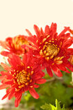 Two red chrysanthemum flower Royalty Free Stock Photos