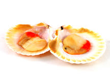 Two red clams Royalty Free Stock Image