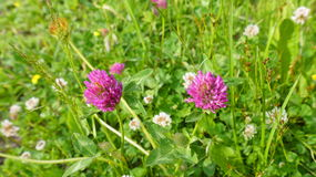 Two red clover flowers. In the meadow Stock Photo
