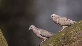 Red Collared Doves. Two red collared doves, Streptopelia tranquebarica, are sitting on tree trunk in Jurong Bird Park, singapore Stock Image