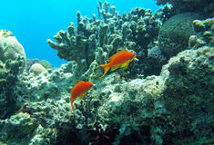 Two red coral perches. Of the Red Sea coral reef Royalty Free Stock Images