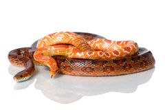 Two red corn snakes. Reflecting on a white studio background royalty free stock photo