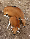 Two red cow sitting on the dry leaves ground. Two red cow sleeping on the dry leaves ground Stock Photos