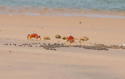 Two Red Crabs. Couple Crabs eating and guarding hole Royalty Free Stock Photos