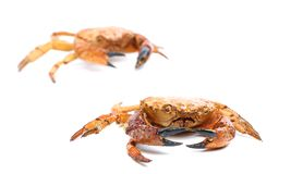 Two red crabs close up Royalty Free Stock Photography