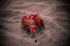 Two red color crabs fighting on a beach royalty free stock image
