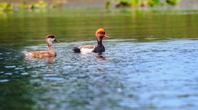 Two Red-crested Pochards,migratory, bird, Diving duck, Rhodoness Stock Photography