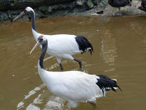 Two red crowned Crane Stock Images