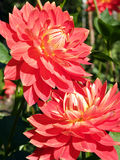 Two red dahlias royalty free stock photography