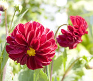Two red dahlias Royalty Free Stock Images