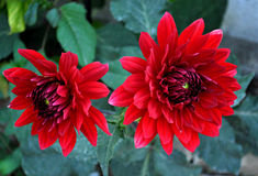 Two red dahlias Royalty Free Stock Image