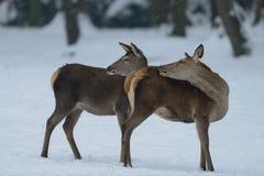 Two red deer females, winter. Two red deer females in the winter,  cervus elaphus Stock Photos