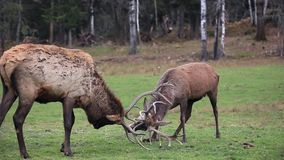Two red deer in a fight. In a forest stock video