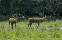Two red deer Stock Images