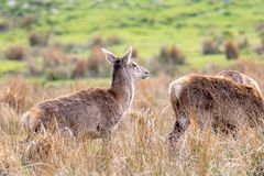Two red deer seen in a Scottish meadow in a clearing amongst tal. L grasses stock photography