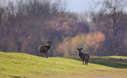 Two red deer on spring light Royalty Free Stock Photo