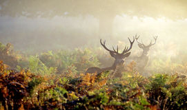 Two Red deer stags in the bracken. Two red deer stags looking at the camera in the autumn morning mist Stock Image