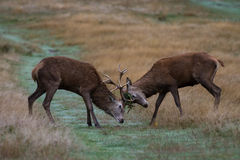 Two Red Deer Stags Fighting Royalty Free Stock Images
