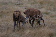 Two Red Deer Stags Fighting Royalty Free Stock Photo