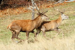 Two red deer stags running Stock Photo
