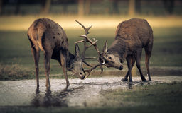 Two Red Deer Stags Rutting On Water Stock Image