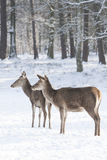Two red deer in winter Royalty Free Stock Photo