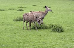 Two Red Deers in green grassy ambiance Royalty Free Stock Photos